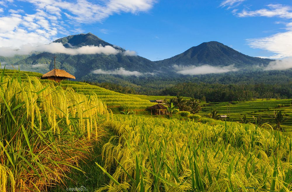 Jatiluwih Rice Terrace, Picturesque Cultural Heritage Site in Bali